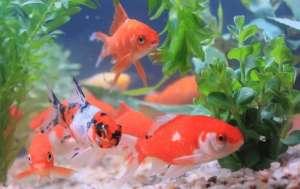 养鱼入门:挑选金鱼及饲养方法